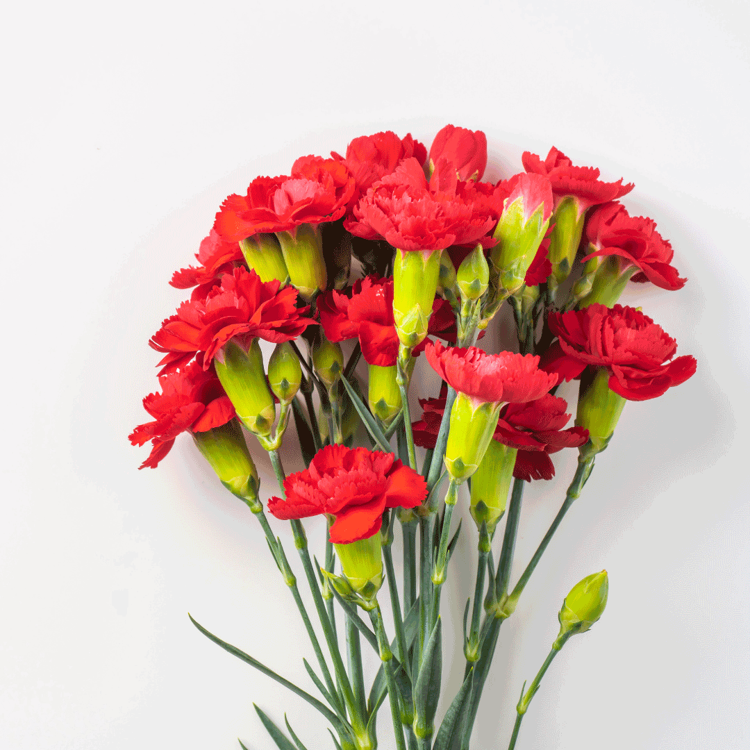 carnation flowers for mothers day philippines